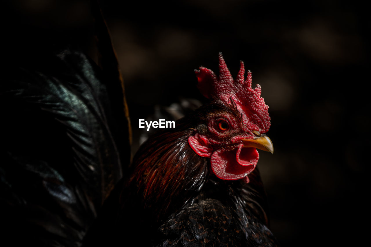 Close-Up Of A Hen Against Blurred Background