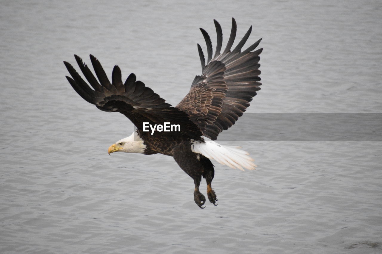 animal, animal themes, animals in the wild, animal wildlife, flying, bird, vertebrate, one animal, spread wings, water, eagle, bird of prey, no people, waterfront, eagle - bird, bald eagle, nature, motion, day, outdoors