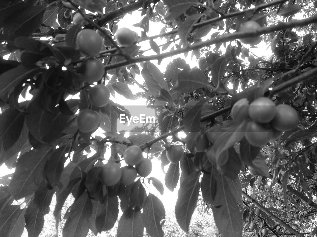 tree, low angle view, growth, fruit, branch, nature, day, outdoors, leaf, beauty in nature, freshness, no people