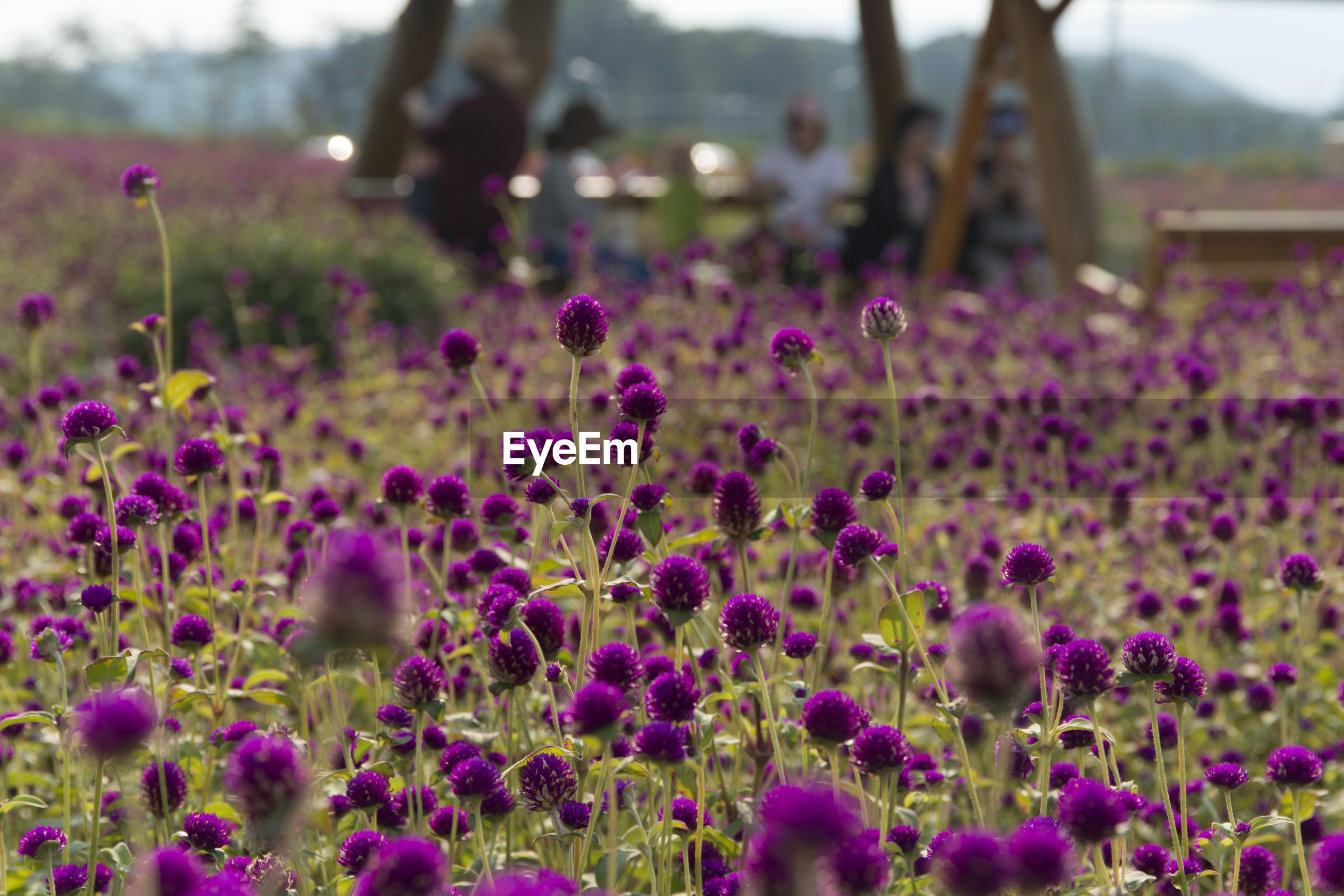 PURPLE CROCUS FLOWERS GROWING IN FIELD