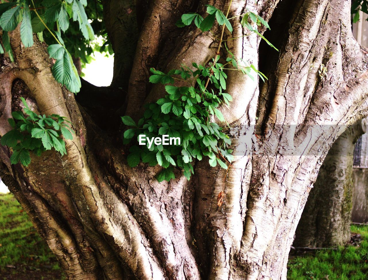 trunk, tree trunk, plant, tree, growth, nature, close-up, day, no people, outdoors, focus on foreground, textured, green color, plant part, leaf, beauty in nature, branch, plant bark, rough, wood - material, bark