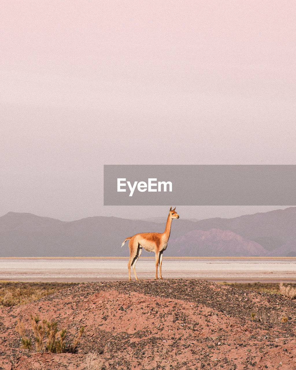 Side View Of Vicuna Standing At Desert Against Clear Sky