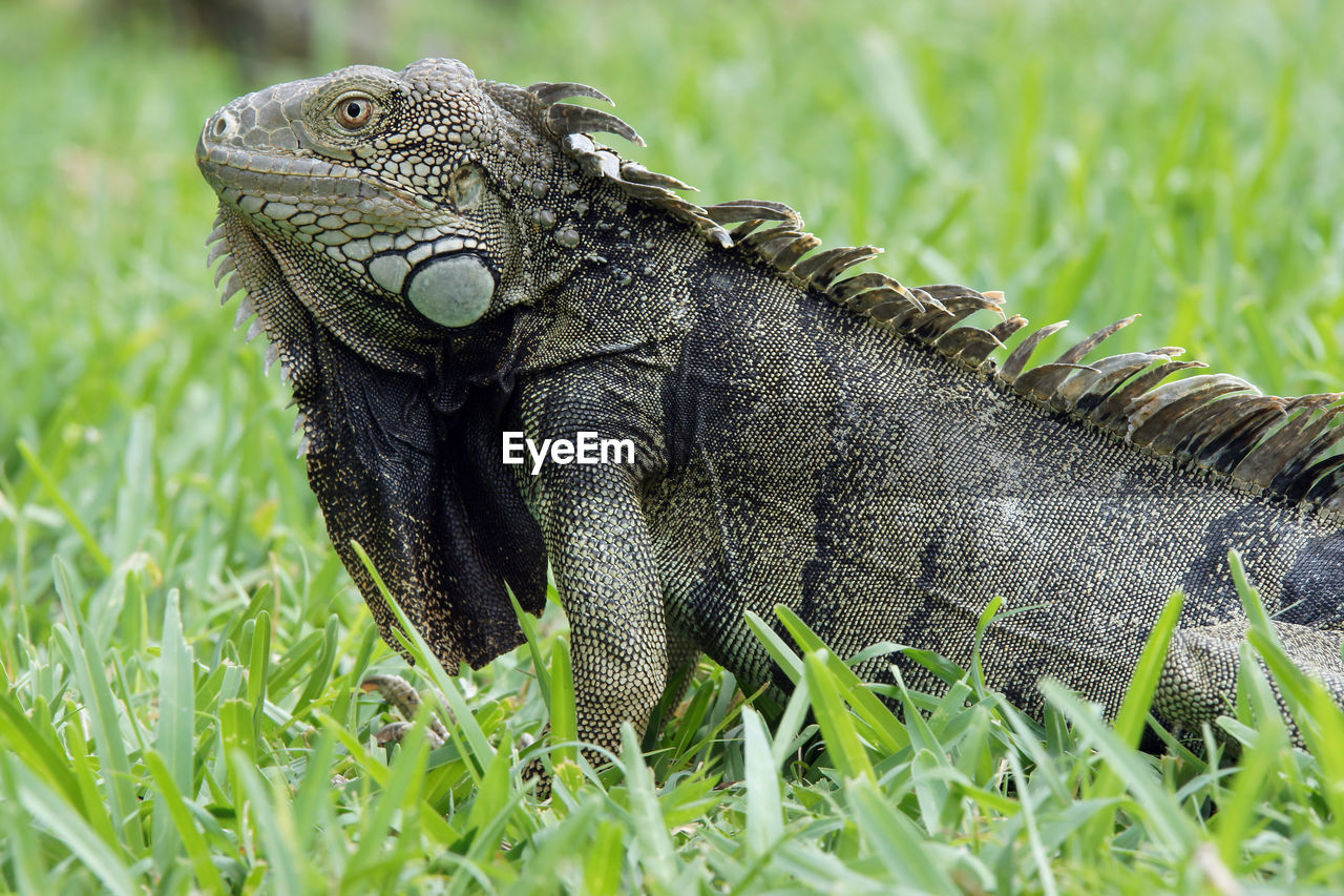 reptile, animals in the wild, one animal, animal themes, lizard, green color, animal wildlife, iguana, field, grass, no people, day, outdoors, close-up, nature