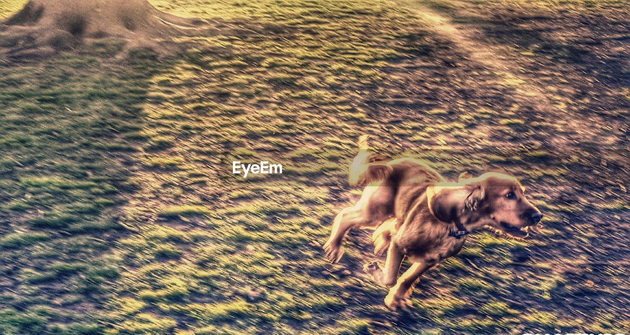 dog, pets, animal themes, domestic animals, running, motion, mammal, blurred motion, speed, field, one animal, outdoors, day, no people, nature