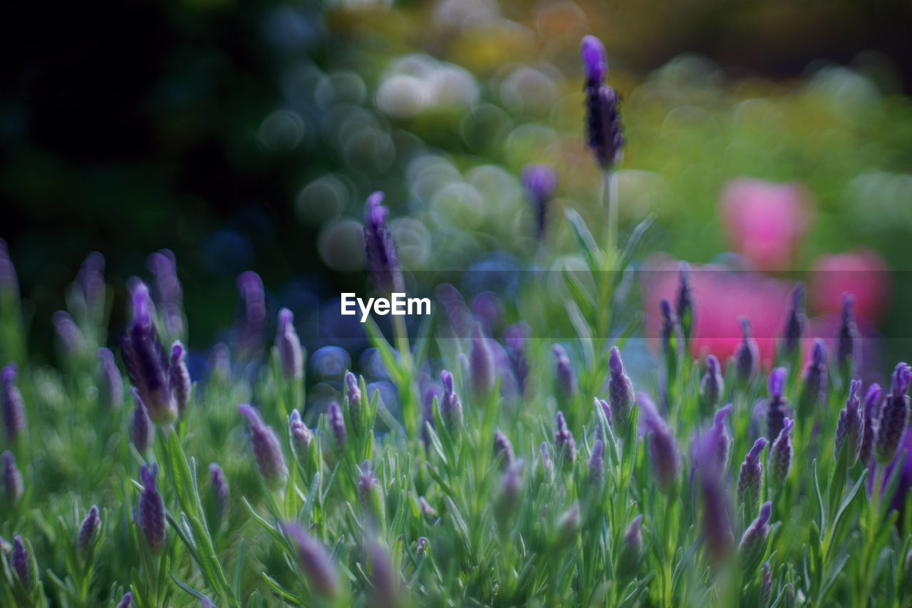 flower, plant, flowering plant, growth, beauty in nature, fragility, freshness, vulnerability, field, purple, close-up, nature, no people, land, selective focus, day, green color, grass, focus on foreground, outdoors, flower head, crocus
