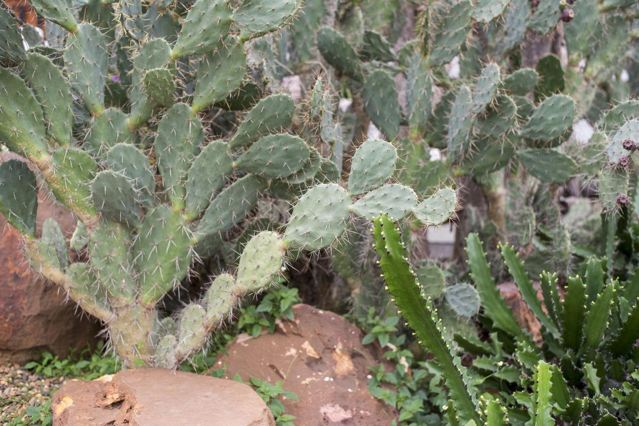 Close-up of cactus growing in garden