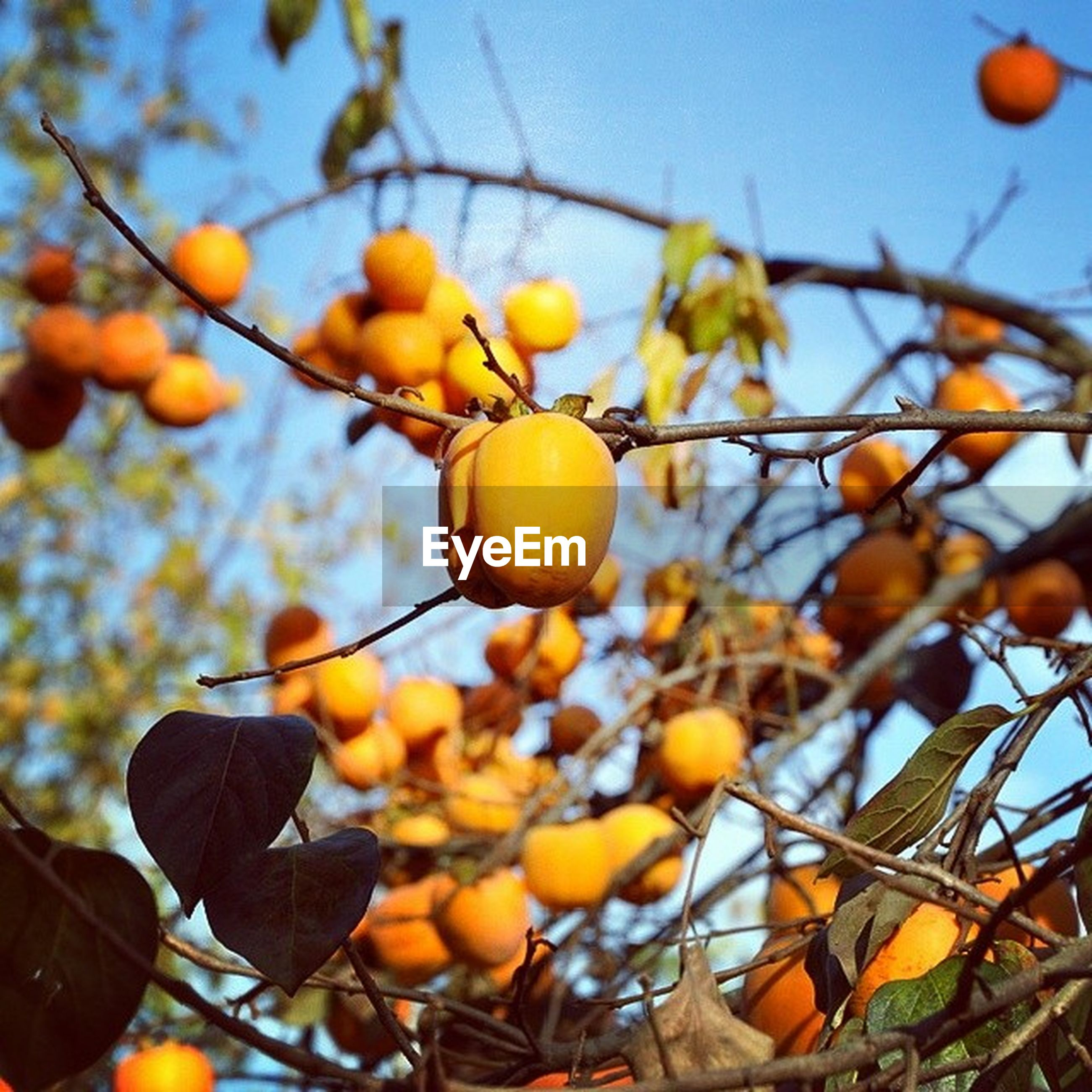 fruit, growth, freshness, branch, tree, focus on foreground, food and drink, close-up, food, yellow, low angle view, nature, leaf, healthy eating, sky, hanging, day, outdoors, sunlight, beauty in nature