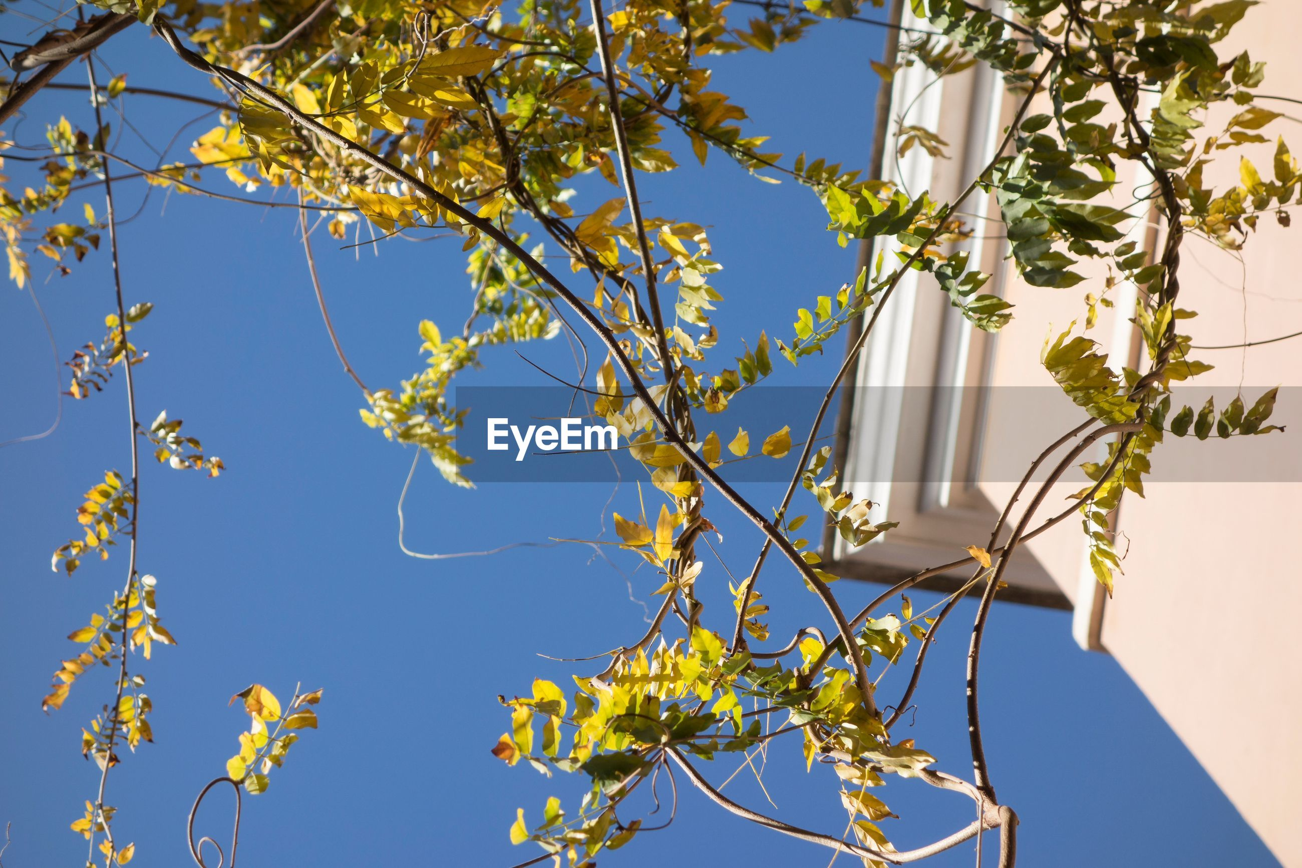 LOW ANGLE VIEW OF FLOWERING PLANTS AGAINST CLEAR SKY