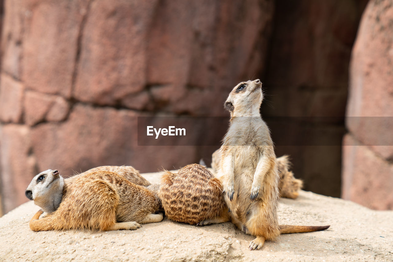 animal themes, animal, mammal, animal wildlife, animals in the wild, vertebrate, group of animals, two animals, focus on foreground, no people, day, meerkat, solid, rock, nature, sunlight, rock - object, togetherness, zoo, outdoors, animal family