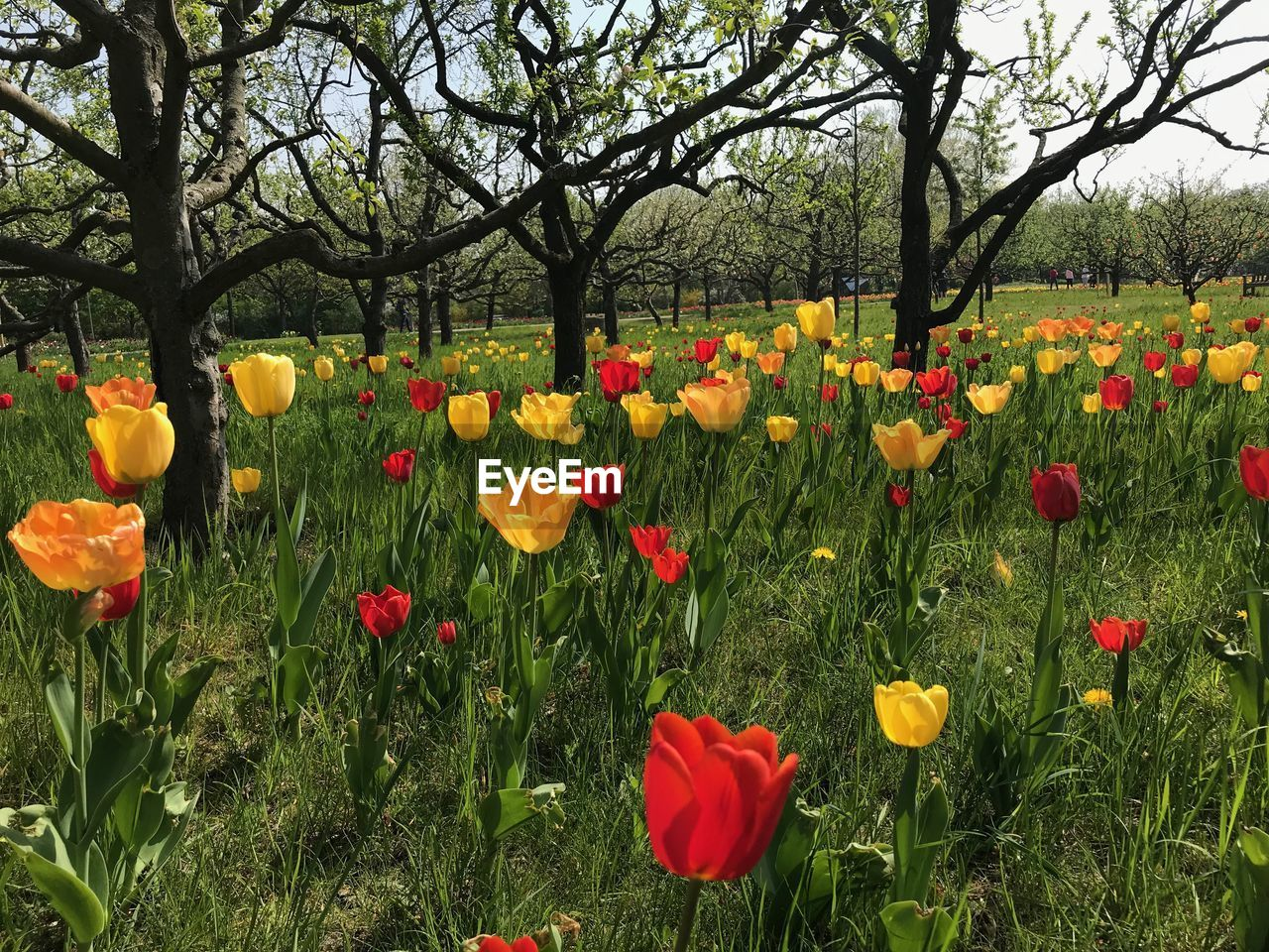 plant, flowering plant, flower, growth, fragility, beauty in nature, vulnerability, freshness, tree, land, nature, field, petal, no people, flower head, yellow, inflorescence, day, multi colored, park, tulip, outdoors, springtime, flowerbed