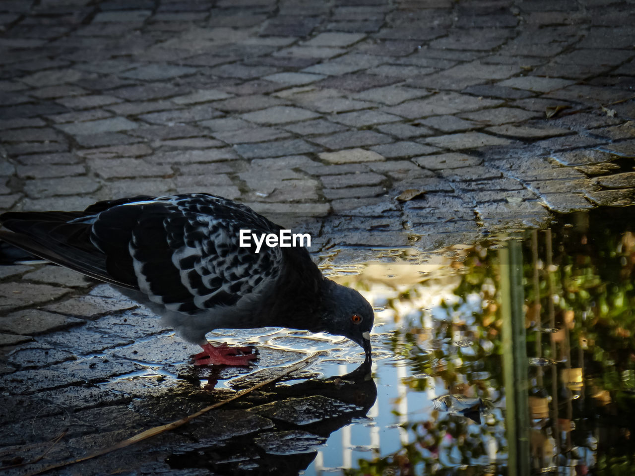 bird, animal themes, animal, vertebrate, animals in the wild, animal wildlife, one animal, no people, water, day, perching, nature, outdoors, lake, black color, full length, pigeon, architecture, selective focus, drinking