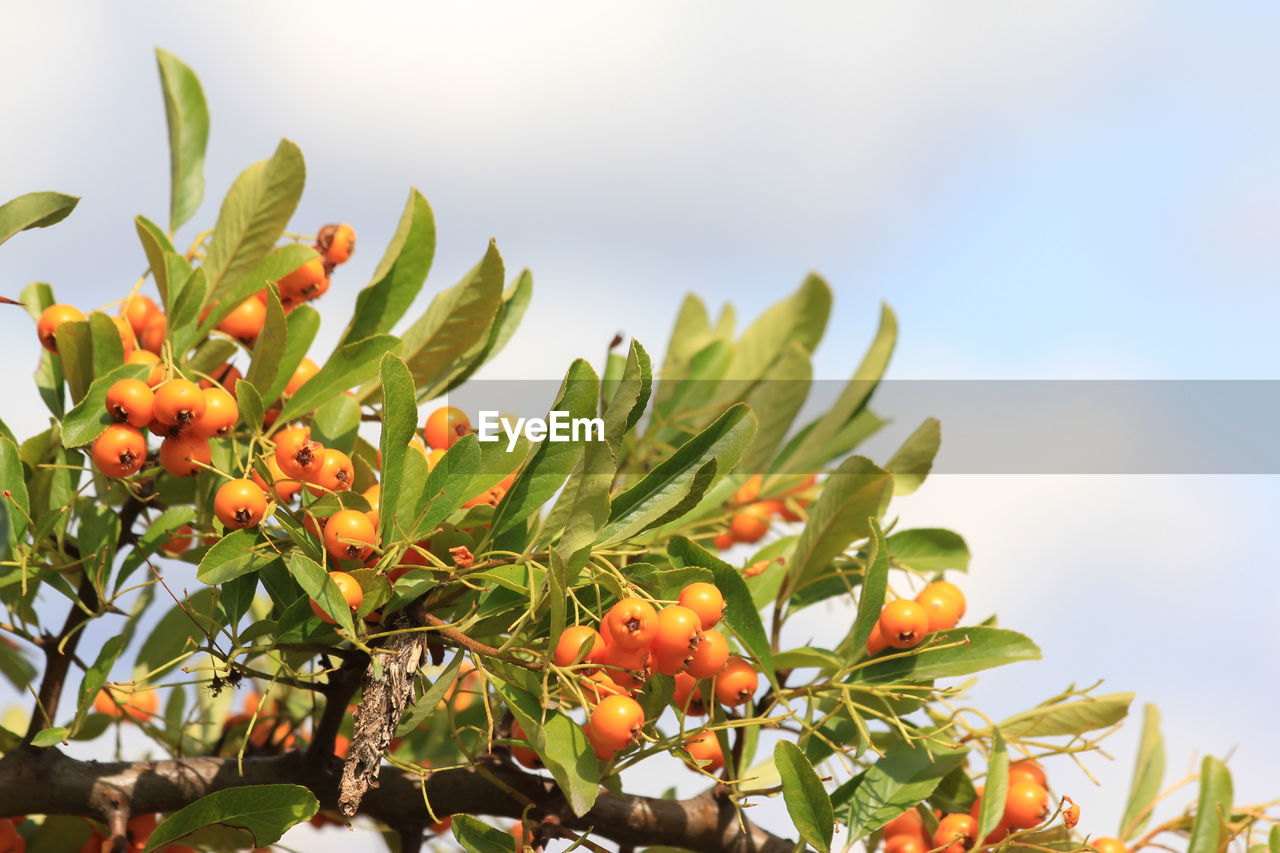 food and drink, food, growth, fruit, healthy eating, leaf, plant part, plant, freshness, nature, green color, tree, beauty in nature, sky, day, no people, low angle view, close-up, focus on foreground, wellbeing, outdoors, ripe, rowanberry