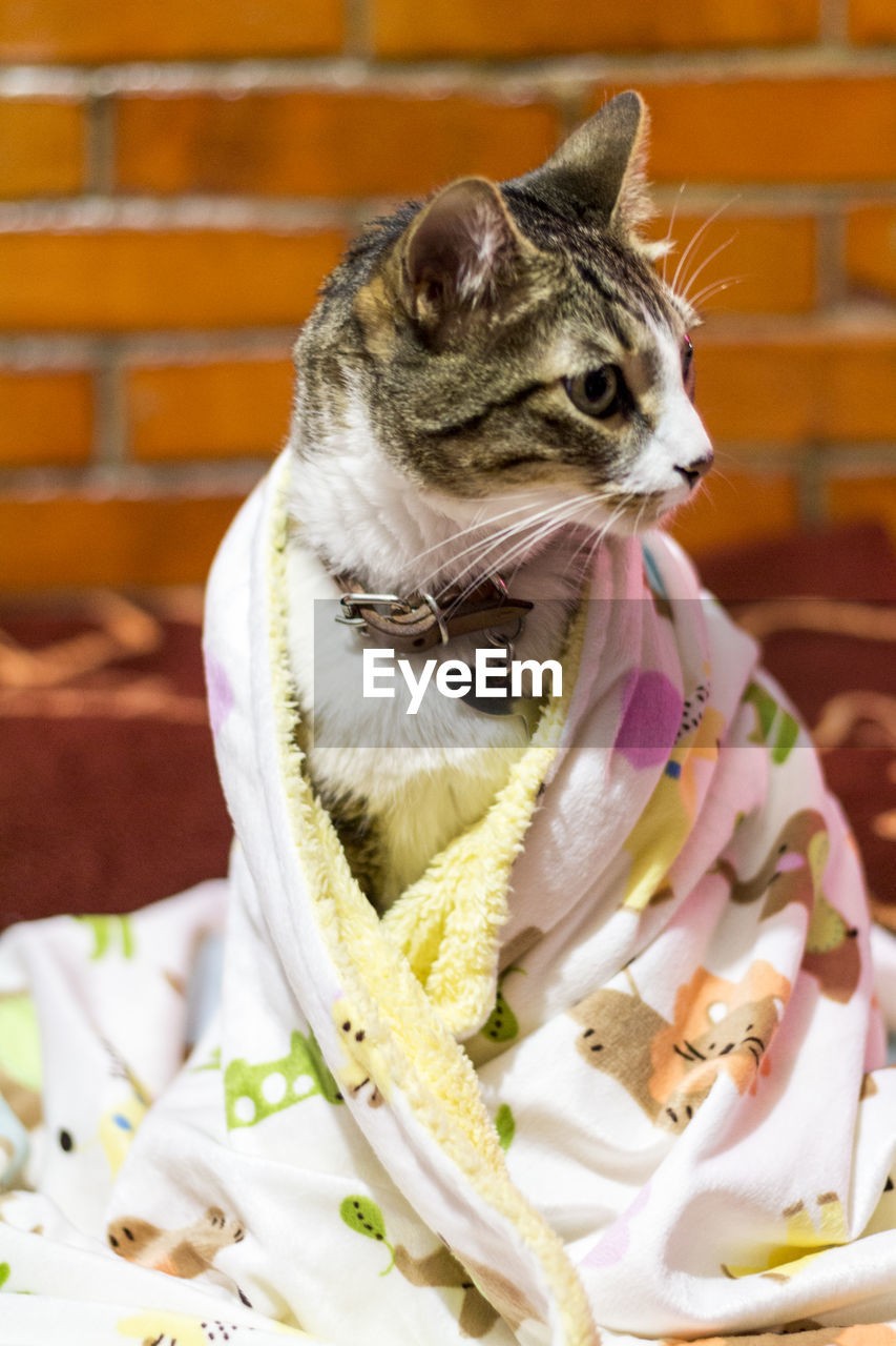 pets, mammal, animal themes, one animal, domestic animals, no people, sitting, domestic cat, indoors, feline, day, close-up