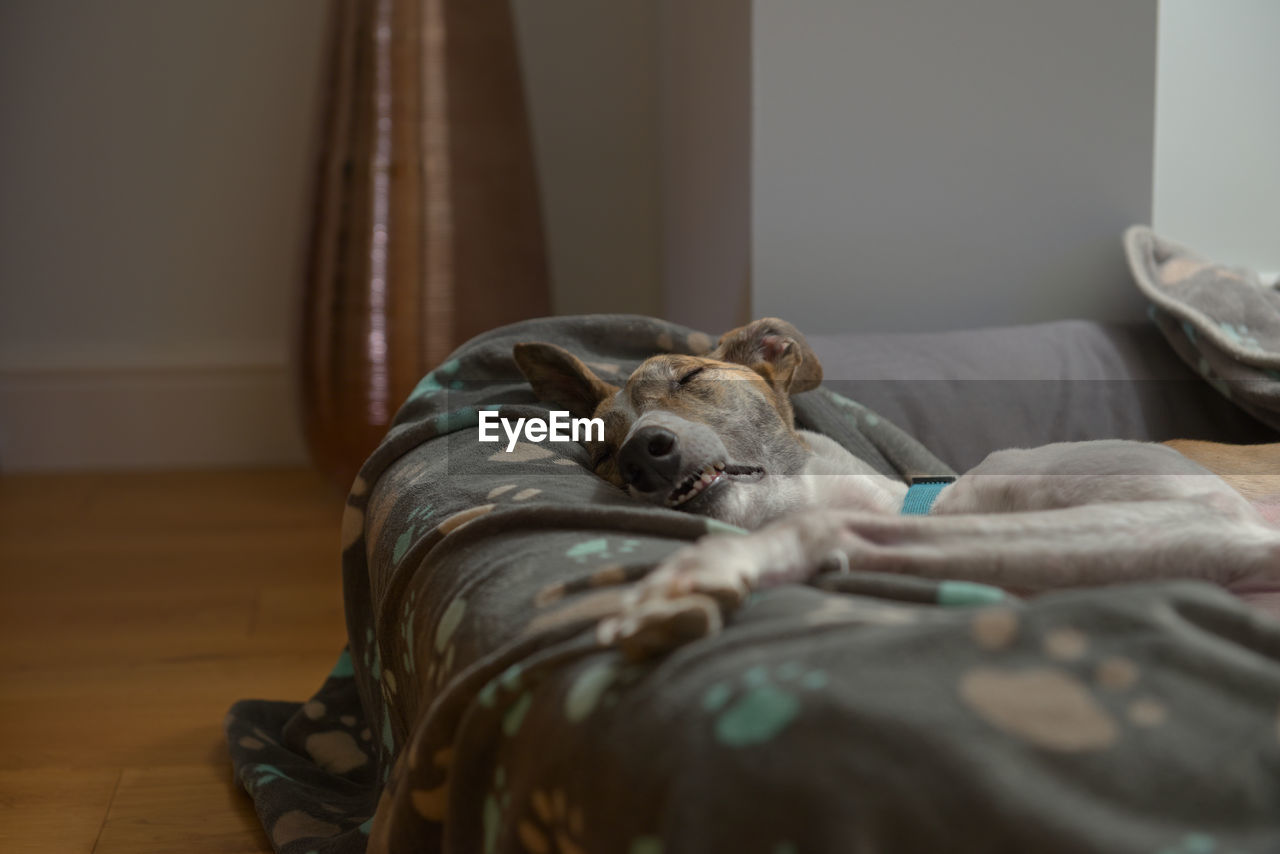 Fast asleep, this white and brindle pet greyhound shows her teeth as she lies down