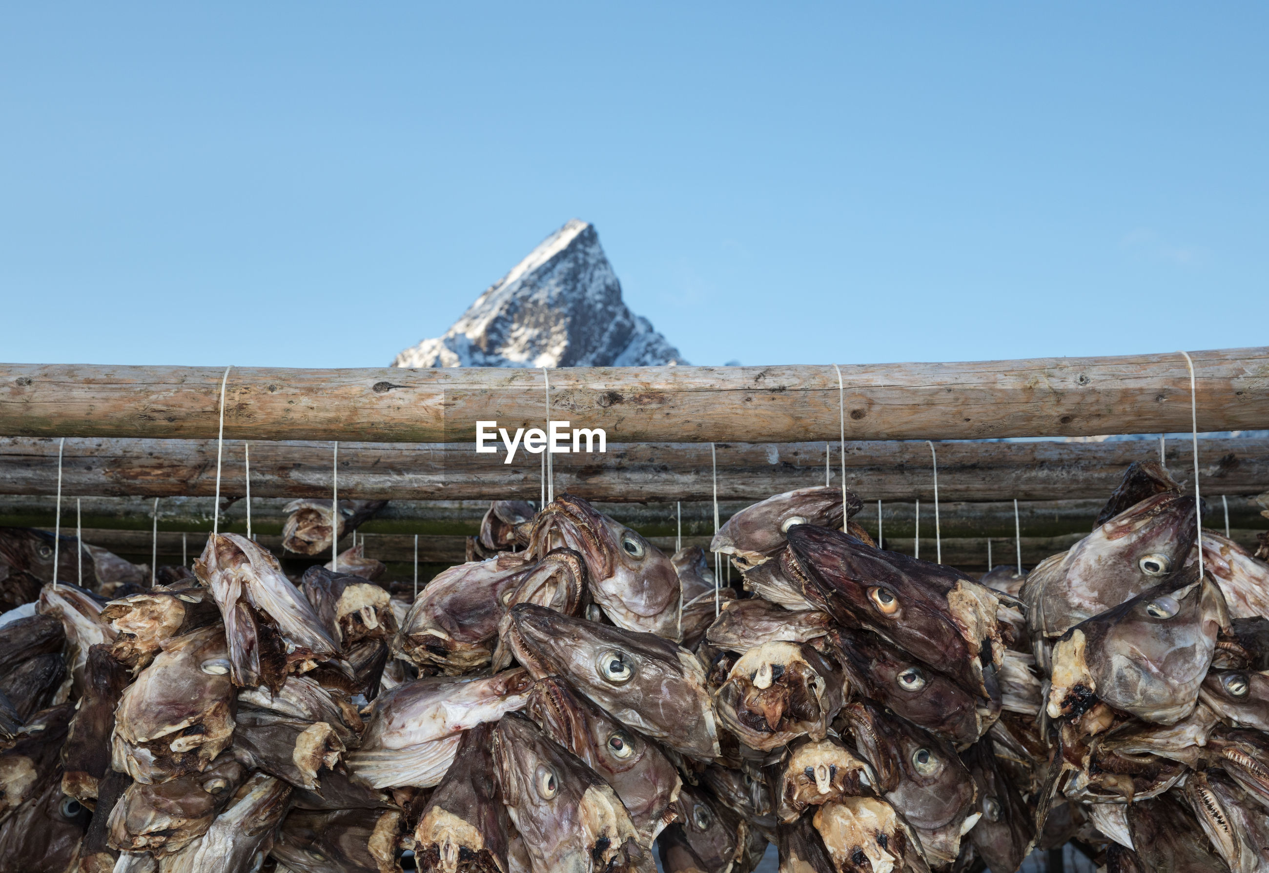 Dead fish drying on wood against clear sky