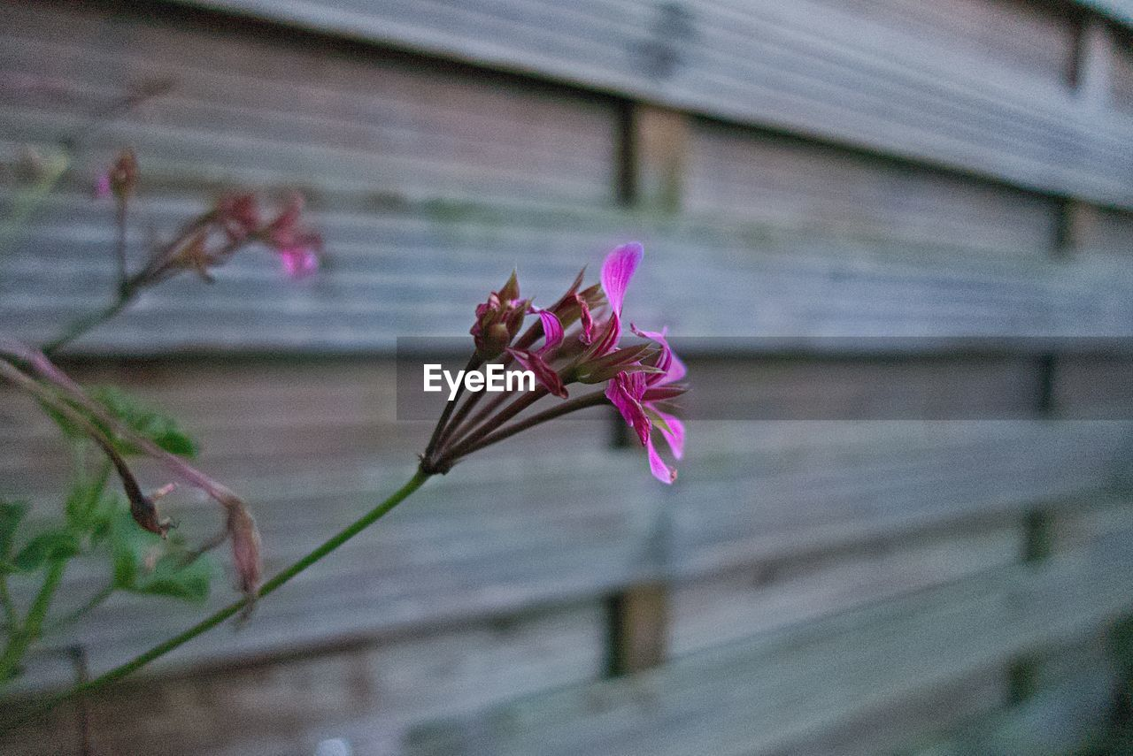 flowering plant, flower, plant, vulnerability, fragility, beauty in nature, growth, freshness, close-up, focus on foreground, petal, no people, nature, pink color, day, flower head, inflorescence, plant stem, outdoors, selective focus, springtime, purple