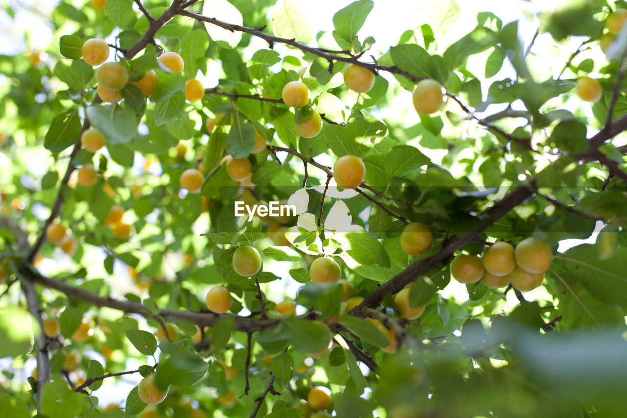 fruit, food and drink, tree, growth, leaf, low angle view, green color, food, day, freshness, outdoors, healthy eating, branch, nature, no people, citrus fruit, beauty in nature, close-up