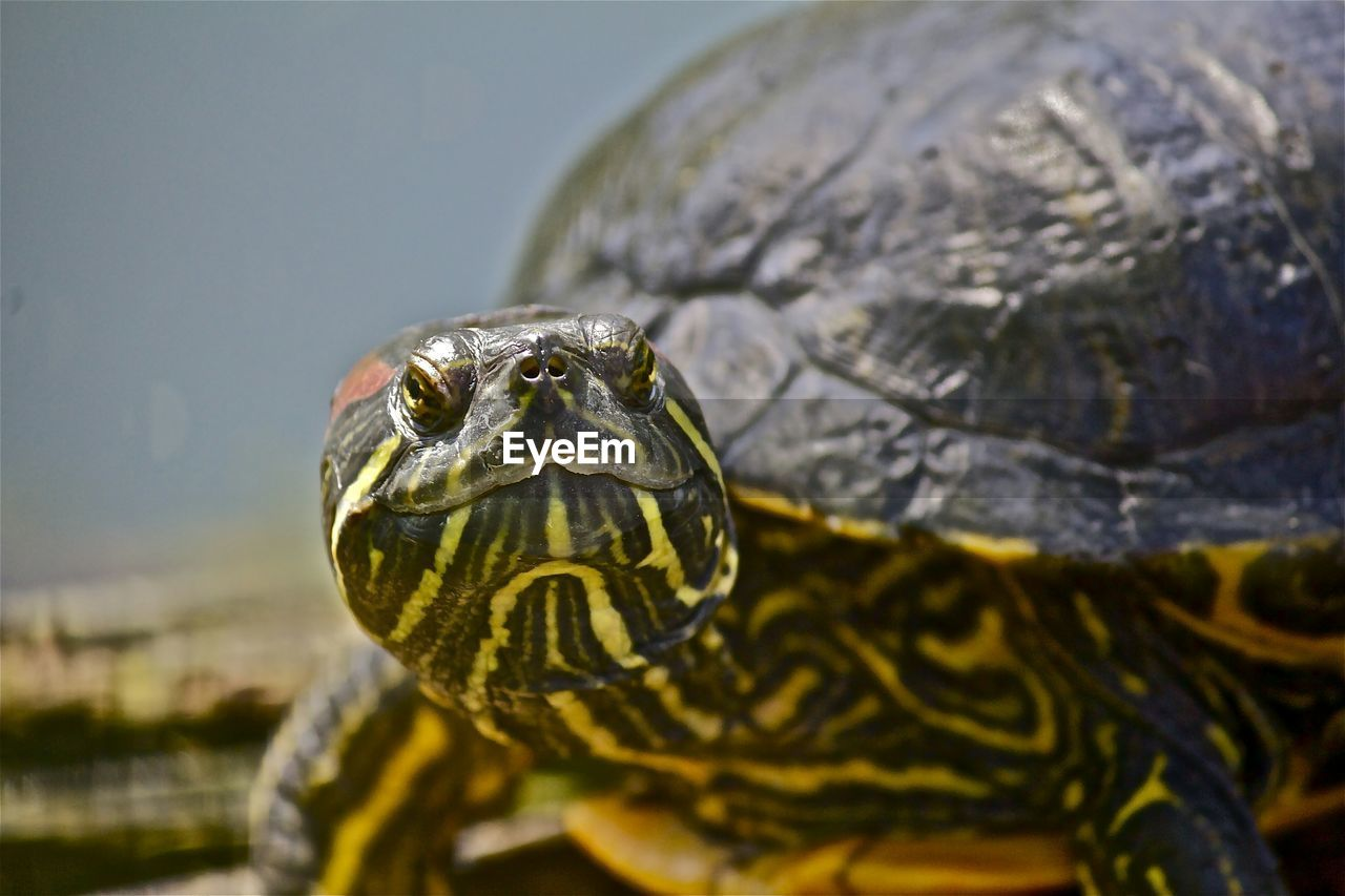 Close-Up Of Yellow-Bellied Slider In Zoo