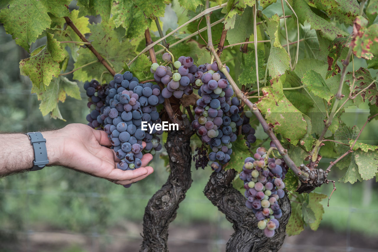 Cropped hand of person holding grapes in vineyard