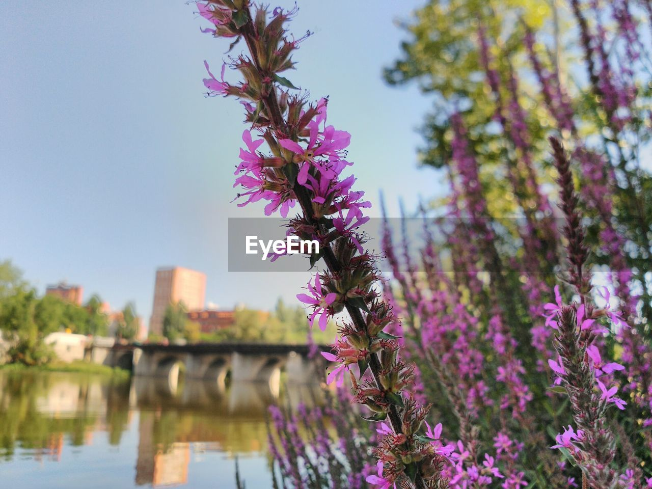 architecture, built structure, flower, outdoors, growth, day, focus on foreground, nature, building exterior, no people, purple, beauty in nature, fragility, tree, bridge - man made structure, water, sky, branch, close-up, freshness