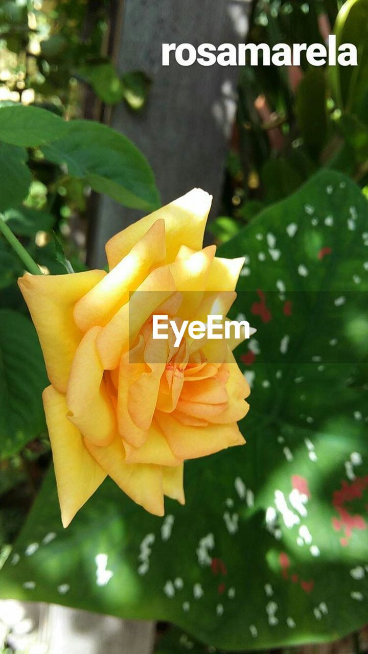 flower, nature, beauty in nature, freshness, fragility, yellow, petal, outdoors, close-up, no people, day, growth, flower head