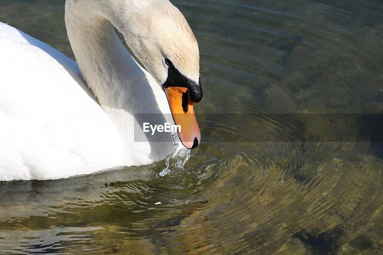 animal themes, animal, water, vertebrate, animals in the wild, swan, lake, one animal, animal wildlife, bird, swimming, water bird, no people, animal body part, beak, day, nature, zoology, animal neck, floating on water, outdoors, animal head