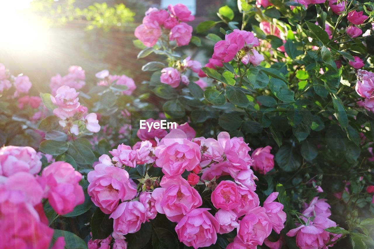 flower, growth, beauty in nature, nature, pink color, fragility, plant, no people, sunlight, outdoors, day, freshness, leaf, blooming, close-up, flower head