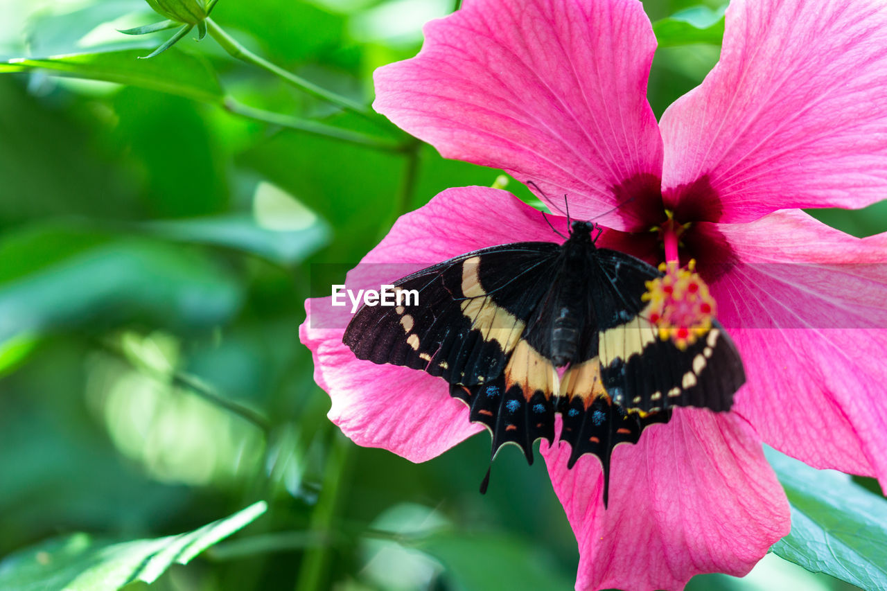 flower, fragility, petal, beauty in nature, animals in the wild, one animal, nature, insect, freshness, animal themes, pink color, flower head, growth, plant, day, animal wildlife, butterfly - insect, outdoors, no people, pollination, close-up, blooming, pollen, zinnia, eastern purple coneflower