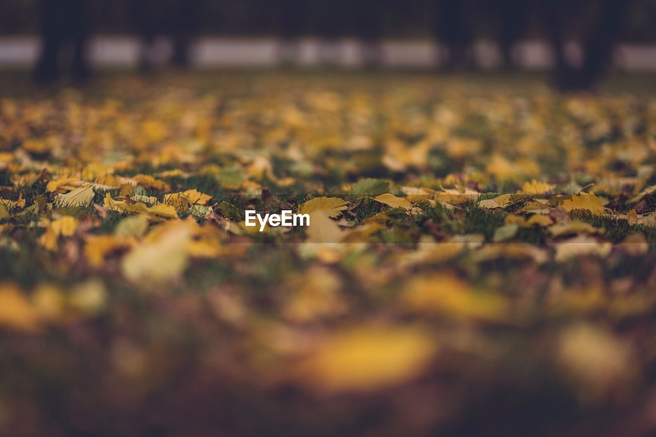 autumn, leaf, change, nature, selective focus, leaves, dry, fallen, yellow, beauty in nature, tranquility, no people, scenics, close-up, outdoors, maple leaf, maple, day, fragility
