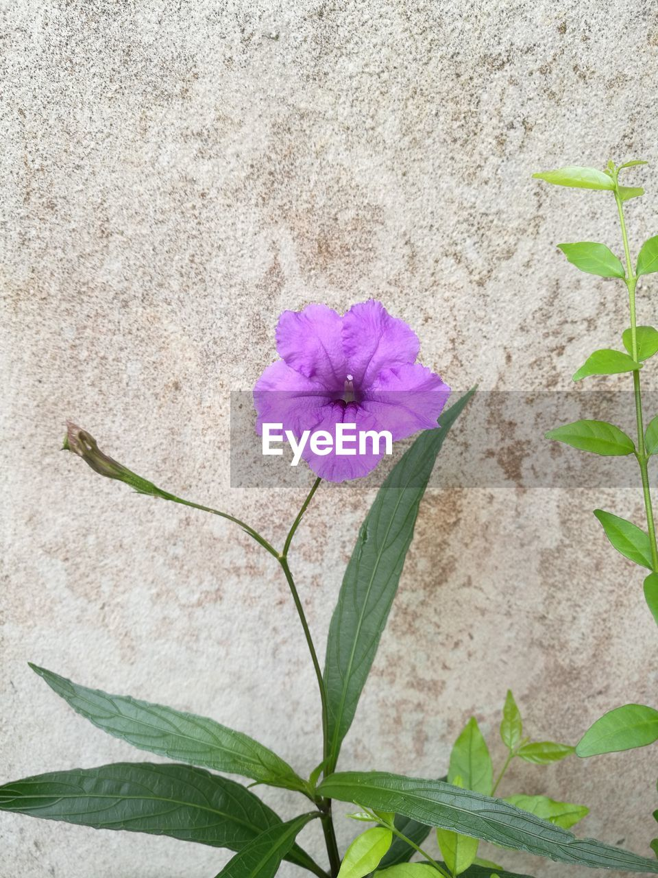flower, fragility, petal, nature, flower head, plant, freshness, growth, beauty in nature, leaf, no people, outdoors, blooming, day, periwinkle, close-up, petunia