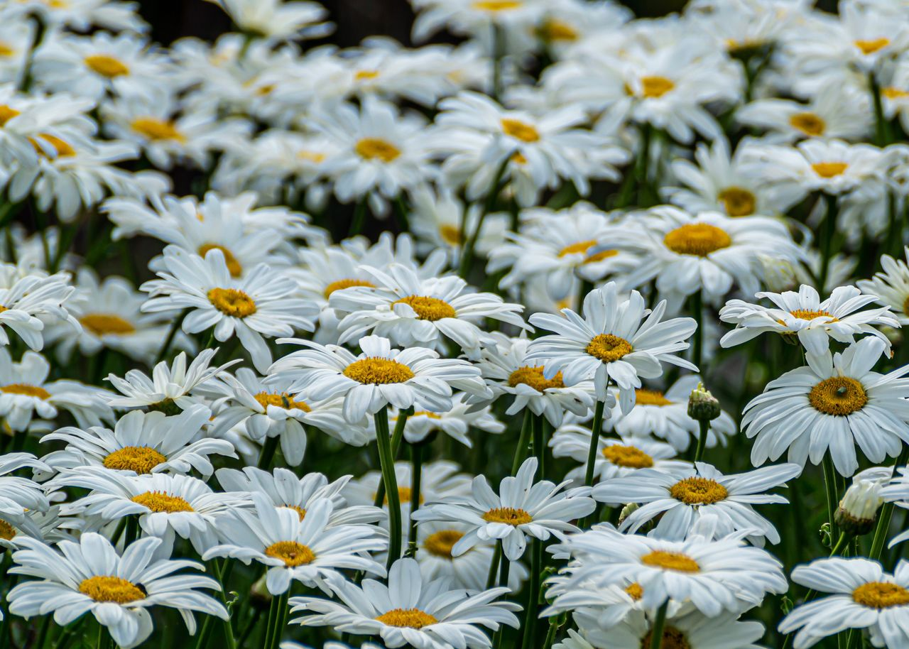 flowering plant, flower, freshness, fragility, vulnerability, beauty in nature, plant, growth, flower head, petal, inflorescence, close-up, full frame, backgrounds, no people, daisy, nature, abundance, yellow, white color, outdoors, pollen, flowerbed