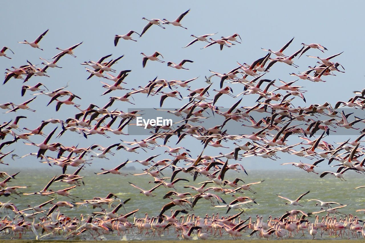 flying, bird, animals in the wild, flock of birds, large group of animals, animal wildlife, mid-air, animal themes, clear sky, no people, day, sky, outdoors, low angle view, nature, spread wings, beauty in nature