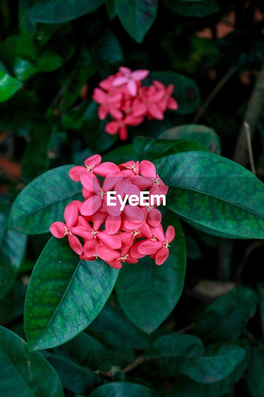 flower, petal, beauty in nature, nature, fragility, leaf, freshness, growth, plant, flower head, blooming, green color, pink color, close-up, outdoors, no people, day, periwinkle