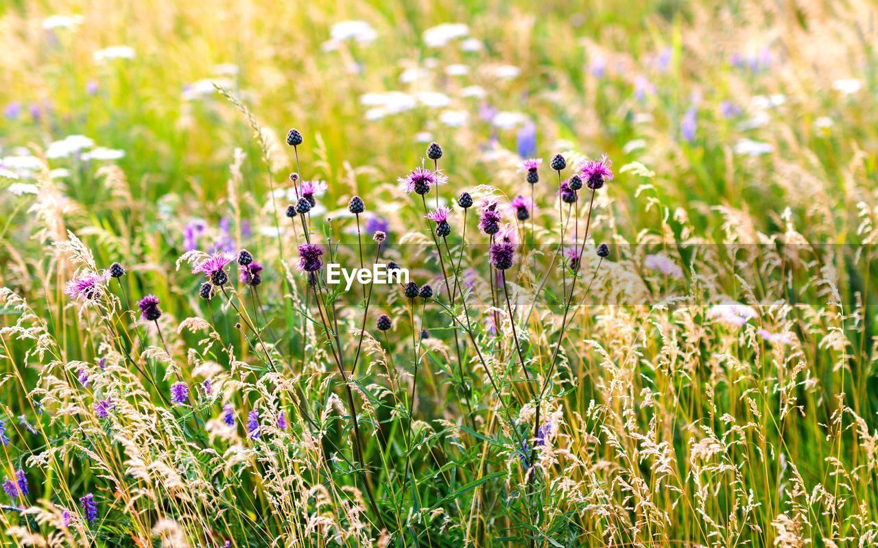 flowering plant, flower, plant, beauty in nature, growth, field, freshness, vulnerability, fragility, land, nature, purple, close-up, no people, day, sunlight, selective focus, tranquility, focus on foreground, animal, flower head, outdoors, springtime, flowerbed