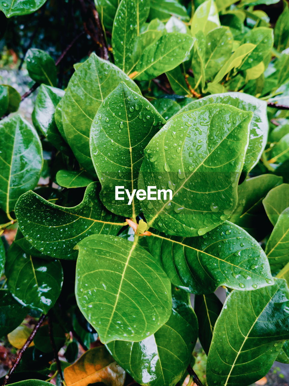 HIGH ANGLE VIEW OF WET PLANT LEAVES
