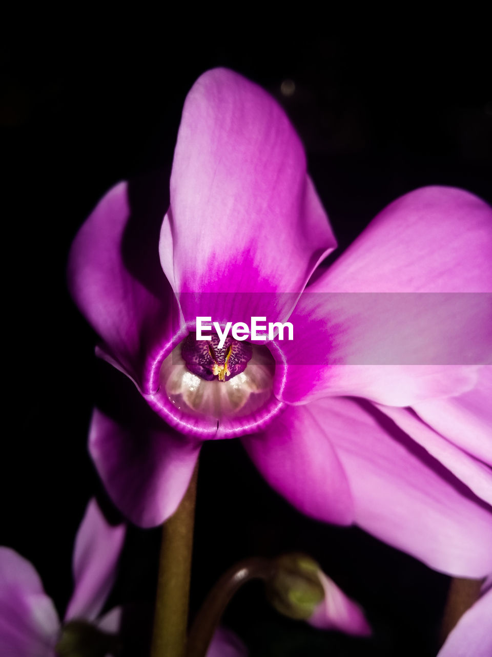 flower, petal, pink color, fragility, flower head, beauty in nature, purple, freshness, growth, nature, close-up, no people, plant, night, outdoors, black background