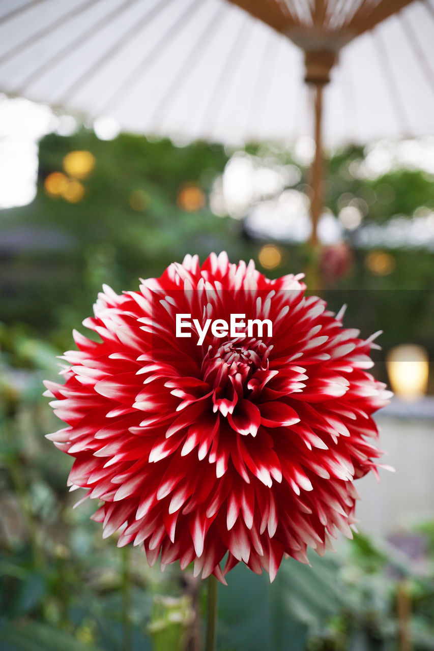 flower, red, beauty in nature, nature, petal, focus on foreground, fragility, freshness, no people, flower head, day, growth, close-up, plant, outdoors, blooming