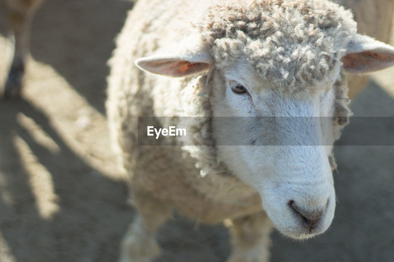 livestock, animal themes, animal, mammal, domestic animals, one animal, domestic, pets, vertebrate, focus on foreground, sheep, day, close-up, no people, portrait, nature, sunlight, outdoors, standing, looking at camera, herbivorous, animal head