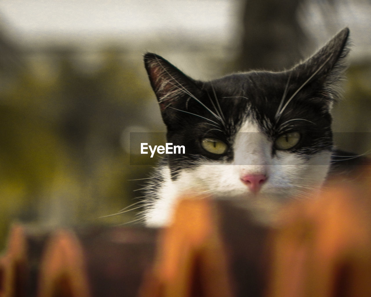 domestic cat, cat, domestic, feline, one animal, animal themes, animal, pets, mammal, domestic animals, vertebrate, close-up, selective focus, no people, animal body part, whisker, day, portrait, looking at camera, animal head, animal eye, yellow eyes