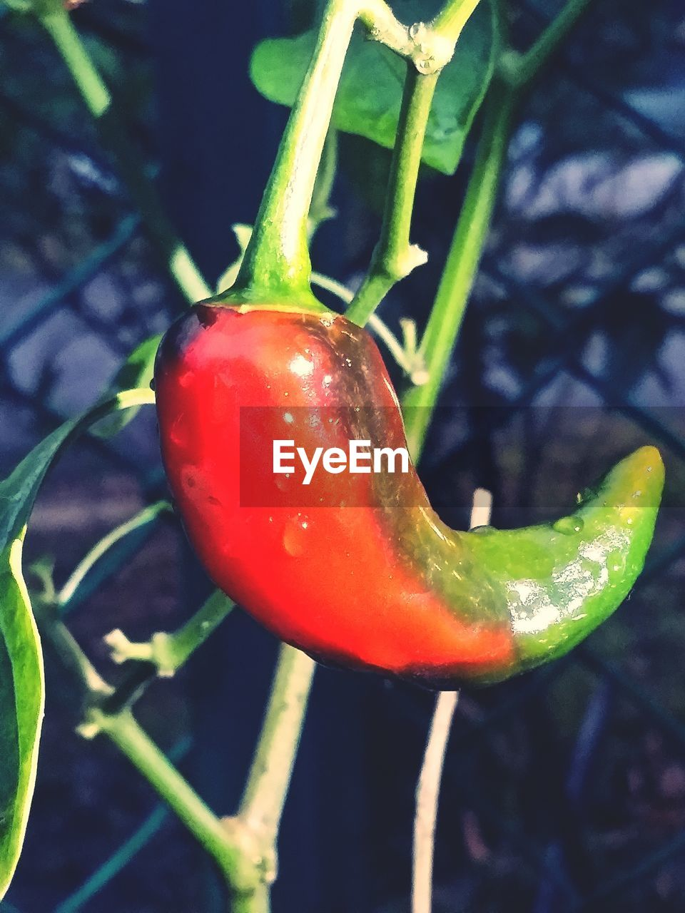 growth, red, close-up, nature, plant, no people, freshness, green color, vegetable, outdoors, day, beauty in nature, food