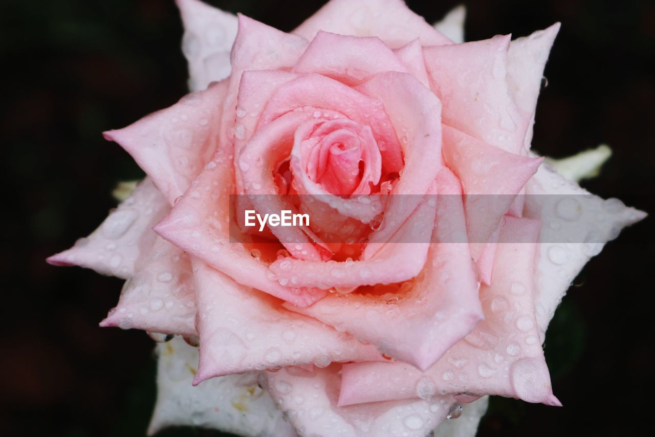 rose, rose - flower, beauty in nature, close-up, flower, plant, flowering plant, freshness, petal, vulnerability, drop, flower head, inflorescence, nature, fragility, wet, pink color, water, no people, dew, black background, raindrop