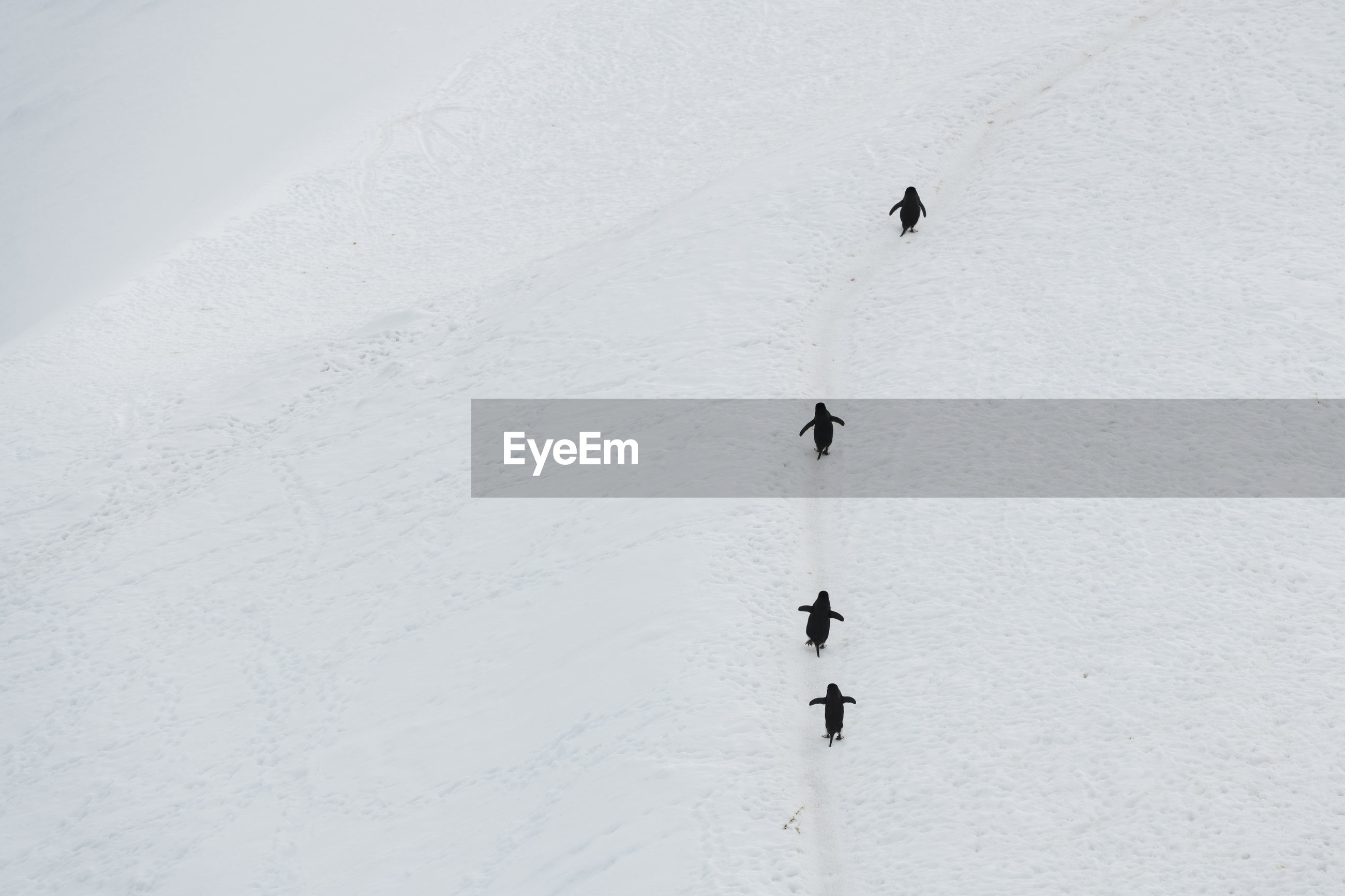 High angle view of penguins on snow covered landscape