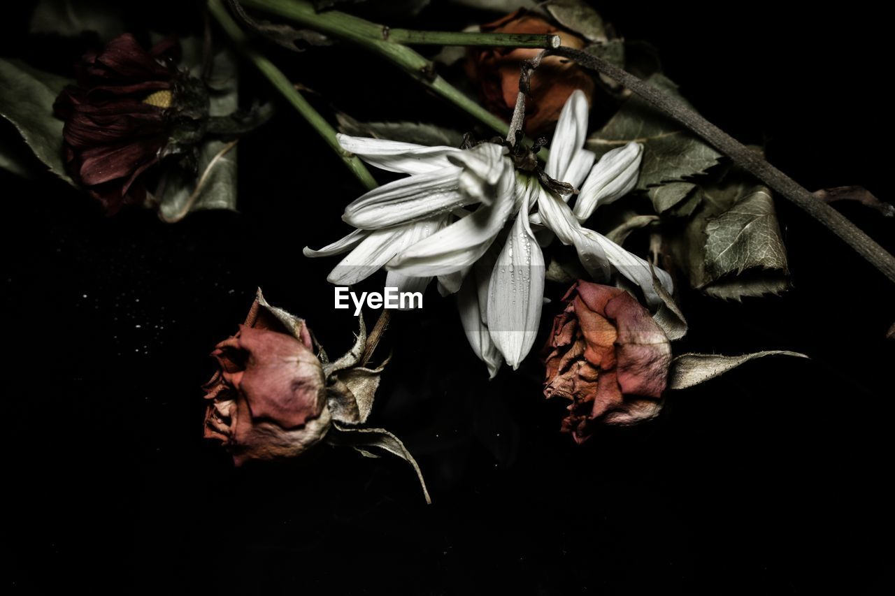 plant, beauty in nature, flower, fragility, vulnerability, flowering plant, close-up, petal, freshness, no people, growth, inflorescence, flower head, nature, studio shot, wilted plant, dry, indoors, black background, leaf, softness, dried