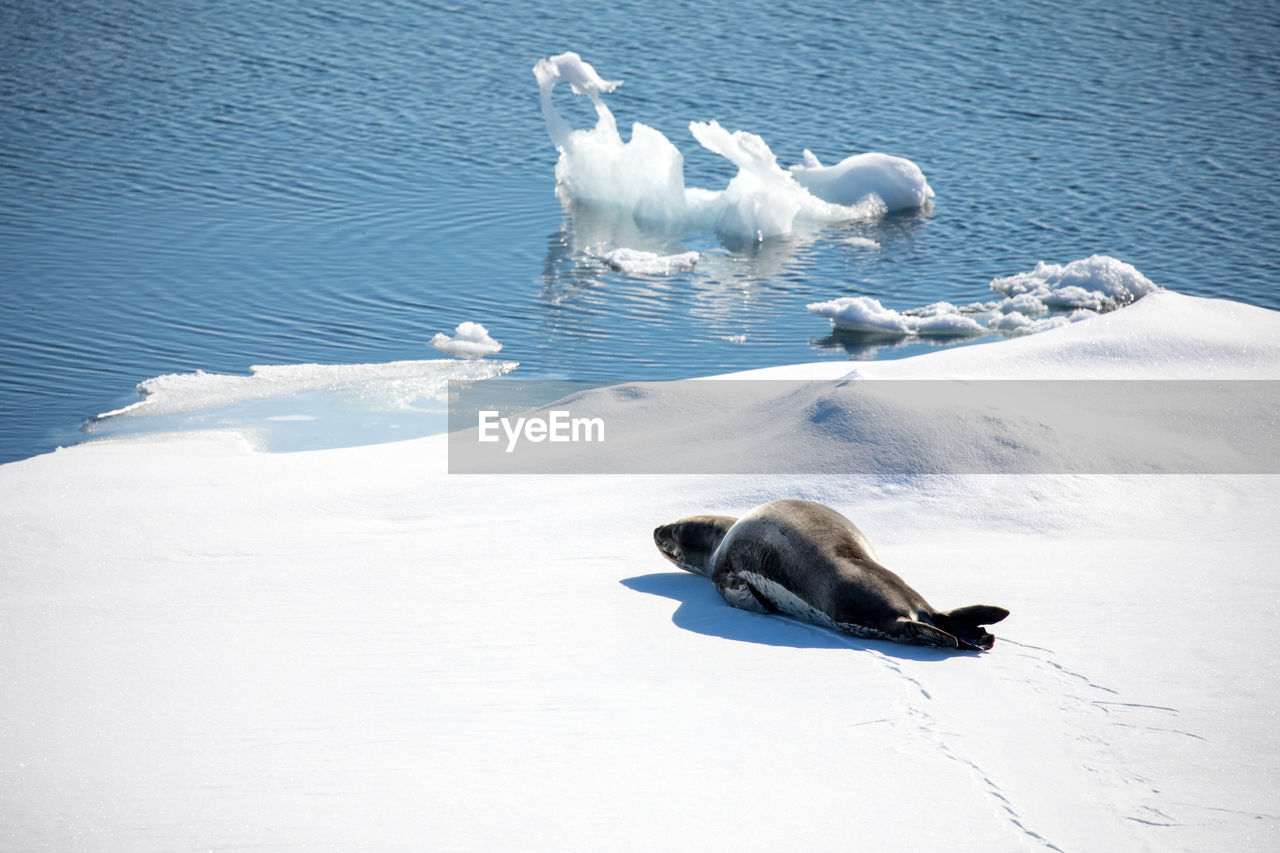 animal themes, animal, snow, mammal, vertebrate, water, group of animals, white color, animals in the wild, animal wildlife, winter, cold temperature, no people, nature, high angle view, sea, beauty in nature