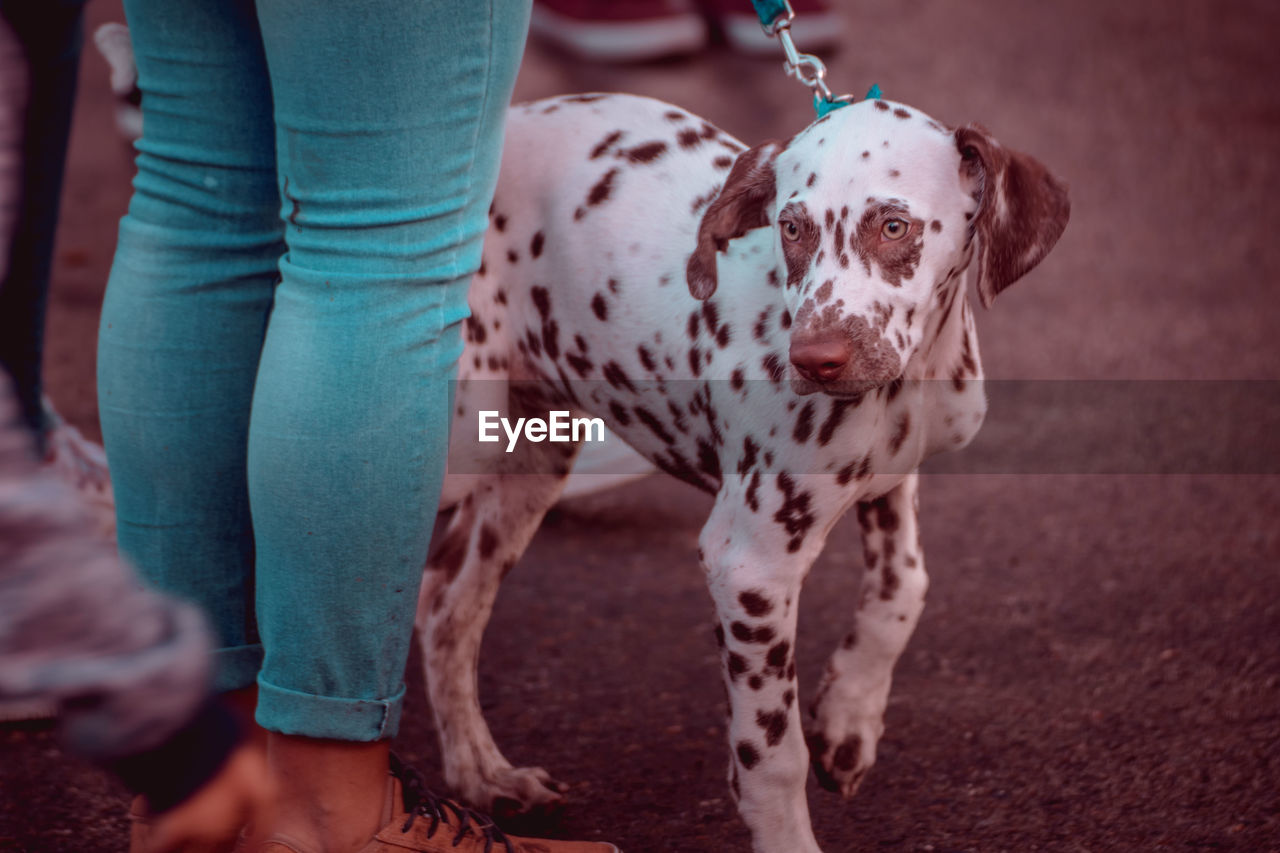 mammal, dog, canine, one animal, domestic animals, pets, domestic, dalmatian dog, vertebrate, one person, focus on foreground, spotted, low section, real people, standing, day, human body part, pet owner