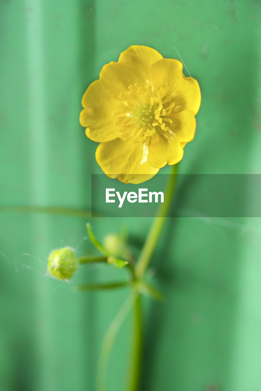 CLOSE-UP OF YELLOW FLOWERS BLOOMING