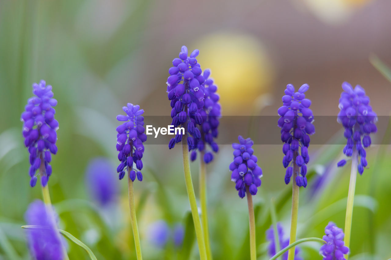 flowering plant, flower, plant, growth, beauty in nature, vulnerability, fragility, freshness, purple, close-up, petal, nature, no people, selective focus, focus on foreground, day, blue, flower head, plant stem, inflorescence, lavender