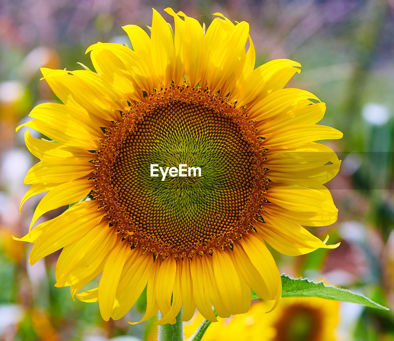 flowering plant, flower, yellow, petal, flower head, vulnerability, freshness, fragility, growth, beauty in nature, close-up, plant, inflorescence, focus on foreground, sunflower, pollen, nature, day, no people, botany, outdoors, pollination
