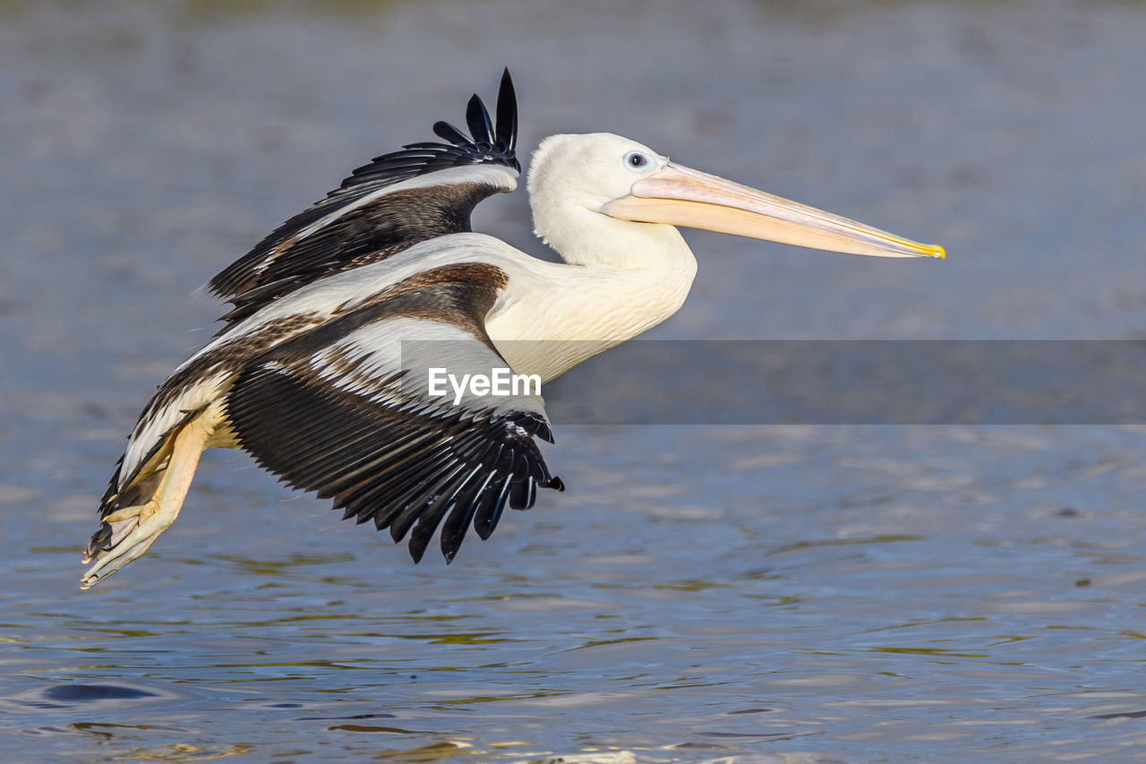 animal themes, animal wildlife, animal, bird, animals in the wild, vertebrate, one animal, water, flying, spread wings, no people, focus on foreground, day, waterfront, lake, nature, pelican, beak, outdoors