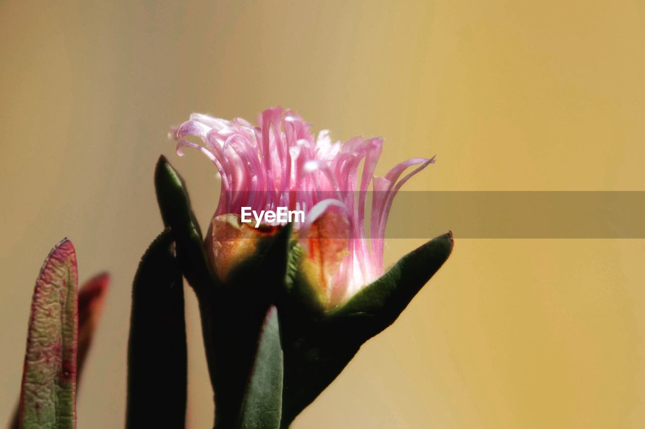 flowering plant, close-up, petal, freshness, flower, flower head, beauty in nature, plant, inflorescence, growth, fragility, vulnerability, pink color, nature, studio shot, indoors, no people, pollen, colored background, sepal